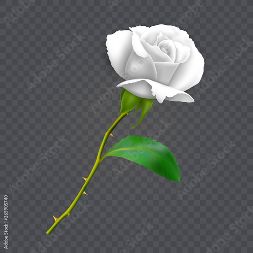 Beautiful white rose on long stem with leaf and thorns isolated on dark background, decoration for your design, photo realistic vector illustration Fototapeta