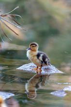 Little Duckling In Pond Drying