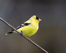 Gold Finch Perched On Branch L...