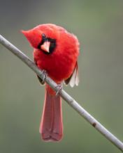Curious Cardinal Looking Aroun...