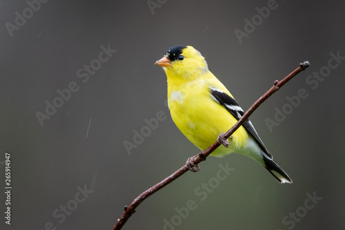 Tableau sur Toile Gold finch perched on branch looking to the left