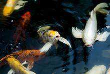 Fancy Carp Swimming In A Pond....