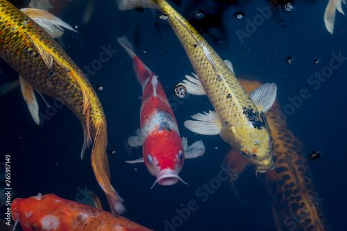Photo Stands Coral reefs Fancy carp swimming in a pond. Fancy Carps Fish or Koi Swim in Pond, Movement of Swimming and Space.
