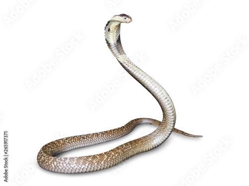 Snake cobra (Naja kaouthia) isolated on white background with clipping path Fototapet