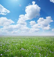 Big Meadow Of Flax.