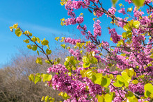 Blooming Branch Of Cercis Sili...