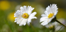 Daisy Flowers With Dew Drops. Soft Focus. Spring Background.