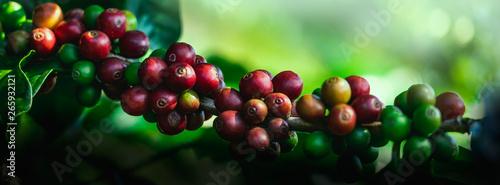 Carta da parati Coffee beans on tree at the mountain in farm northern Thailand.