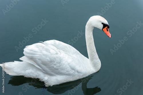 Spoed Fotobehang Zwaan Wild white swan swimming in a blue lake.