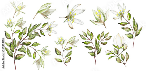 Fototapeta Watercolor illustration. Botanical collection.  Set: leaves, flowers,branches, herbs and other natural elements. White flower. obraz na płótnie