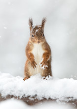 Red Squirrel In Snow With A Wh...
