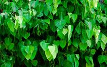 Leaves, Symbolism, Buddhism, Ficus Religiosa