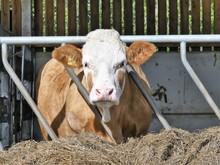 Hereford Cow Eating Hay Throug...