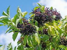 Früchte Vom Schwarzen Holunder, Sambucus Nigra