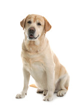 Yellow Labrador Retriever Sitt...