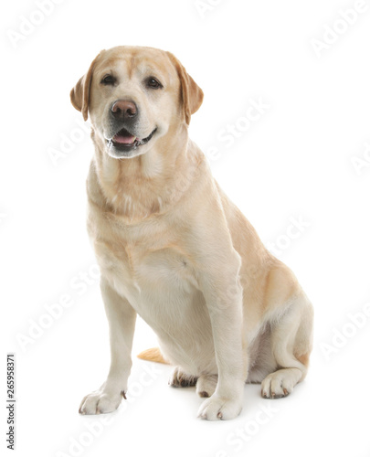 Photographie  Yellow labrador retriever sitting on white background