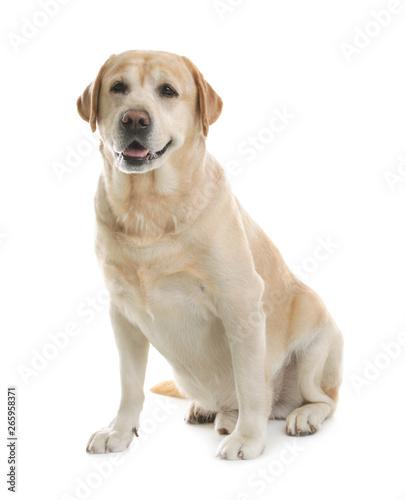 Photo Yellow labrador retriever sitting on white background