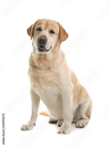 Yellow labrador retriever sitting on white background Tableau sur Toile