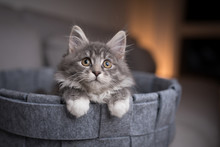 Playful Blue Tabby Maine Coon Kitten Lying In Pet Bed Looking Up Curiously
