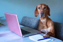 Vizsla Mix Pointer Dog Works B...