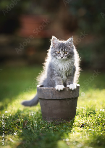 backlit blue tabby maine coon kitten sitting in a plant pot in the garden lookin Canvas Print