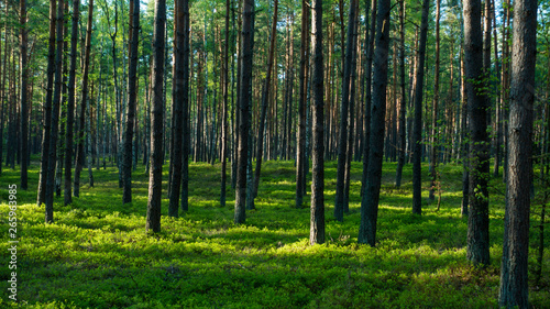 Fotografie, Obraz  las, lasy, drzewa, drzewo, bory, sosny, jagodniki, jagody, sosna