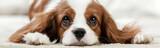 Fototapeta Dogs - Cavalier King Charles Spaniel