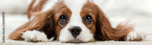 Poster Chien Cavalier King Charles Spaniel
