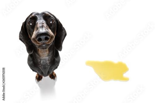 Stickers pour porte Chien de Crazy dog pee owner at home