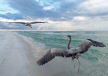 Great Blue Heron Beach Turf Wars