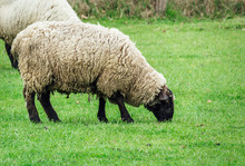 Two Sheep Eating Green Grass At Spring Time
