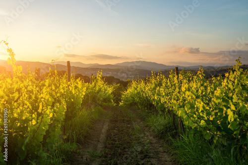 Garden Poster Vineyard Large vineyard plantation under beautiful sunset light. Agri tourism tour of Tuscany. Enjoy travel visiting vineyard site. Wine production region.