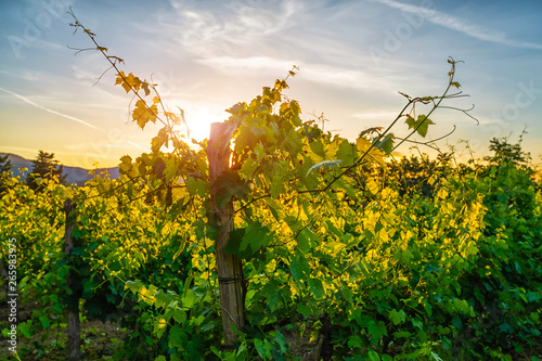 Scenic landscape with beautiful vineyards and valleys in golden evening light at sunset, Val d'Orcia, Tuscany, Italy.