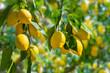 Leinwanddruck Bild - Bunches of fresh yellow ripe lemons on lemon tree branches in Italian garden