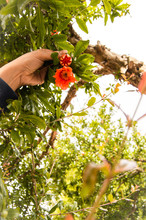 Hand Hold Flowers Of Pomegrana...