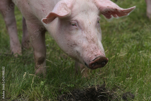 Fotografie, Obraz  Portrait of a young pig at animal farm on green grass meadow