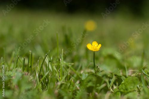 common buttercup, Ranunculus acris, in a green grass field. Wallpaper Mural