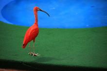 Eudocimus Ruber, Red Bird Or Scarlet Ibis