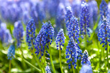 Blue hyacinth flower in closeup