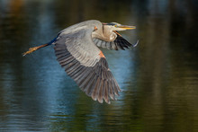 Great Blue Heron Flies Over Pond