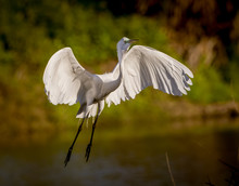 Great White Egret Flies In For Landing
