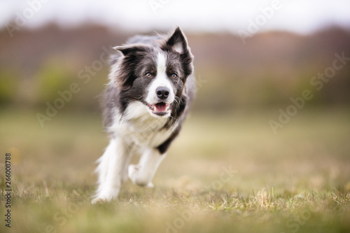 Stampa su Tela happy dog has a great time