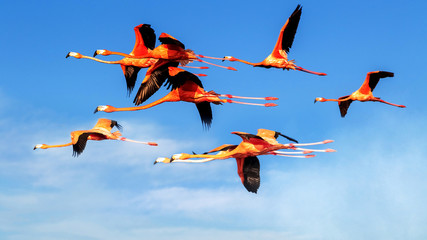Fototapeta Ptaki A flock of flying pink flamingos on the background of bright bare sky with clouds. Wild nature.