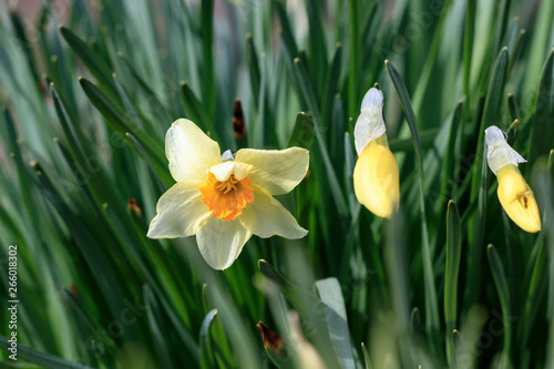Canvas Prints Narcissus natural street lighting. daffodil flower. have toning. shallow depth of field