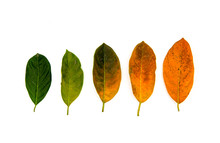 Green To Yellow Leaf Flat Lay On White Background. Natural Color Gradation Of Tree Leaf. From Summer To Autumn Concept