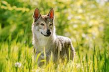 Czechoslovakian Wolf Dog Beaut...