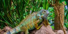 Colorful Iguana In Closeup, Tropical Lizard From America, Popular Pet In Herpetoculture