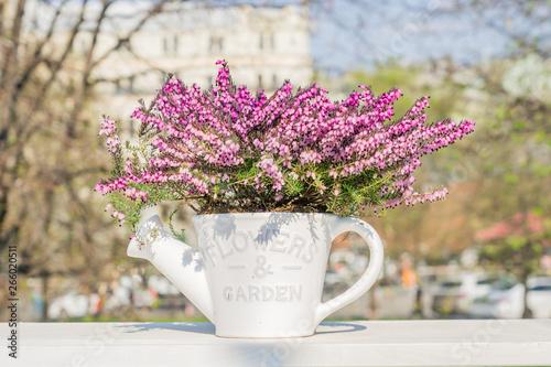 Fototapeta Beautiful blooming purple Erica darleyensis or heather in white ceramics pot in shape of watering can on white table. selective focus obraz na płótnie