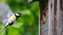 Great Tit In Front Of The Nesting Box