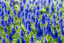 Muscari Flowers, Muscari Armeniacum, Grape Hyacinths Spring Flowers Blooming In April And May. Muscari Armeniacum Plant With Blue Flowers